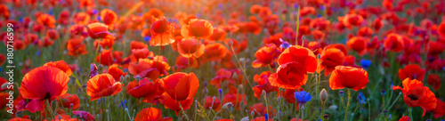 Poster de jardin Poppy Poppy meadow in the light of the setting sun