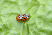 Two Red Ladybugs Mating On A G...