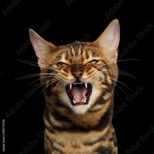 Portrait of Angry Bengal Cat Meowing on isolated Black Background, front view Wallpaper Mural