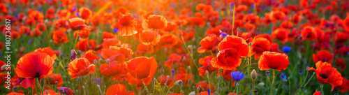 Foto op Plexiglas Rood Poppy meadow in the light of the setting sun