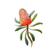 Watercolor Banksia Vector Flower