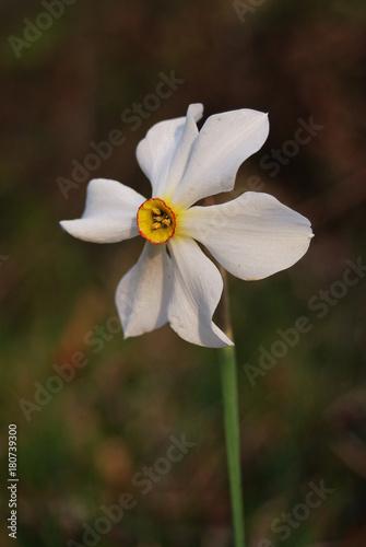 Fiori Narcisi.Narciso Dei Poeti Narcissus Poeticus Fiore Buy This Stock