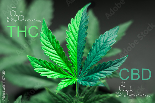 A beautiful sheet of cannabis marijuana in the defocus with the image of the for Wallpaper Mural