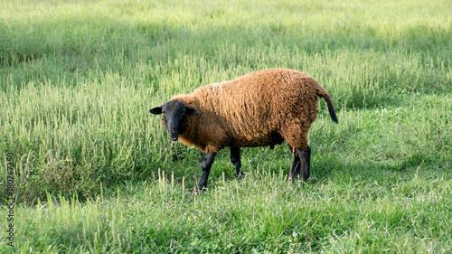 Fotografie, Obraz  Finn Sheep Standing in Grassy Field