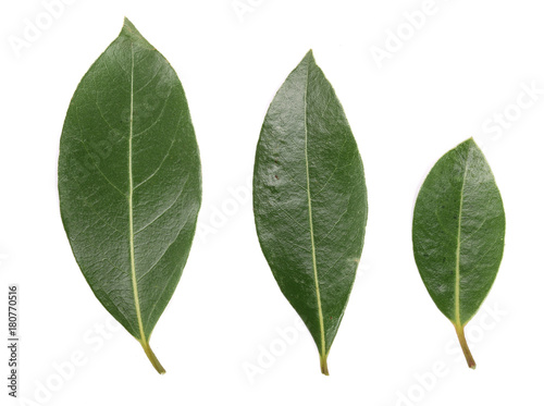 Obraz laurel leaf isolated on white background. Fresh bay leaves. Top view - fototapety do salonu