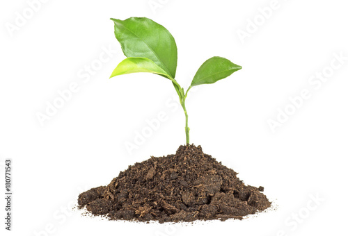 Poster Vegetal Young plant of pomelo in soil humus on a white background