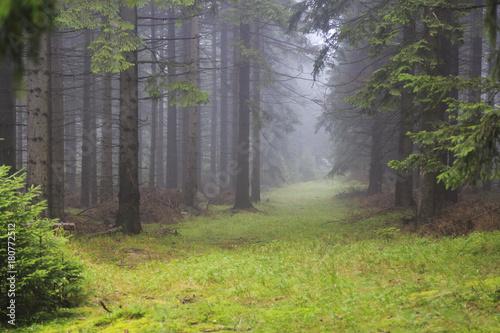 Fototapeta Misty conifer pine forest in Karkonosze Mountains in Poland obraz