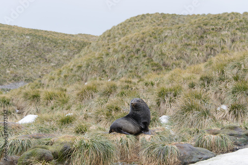Fur seal on the grass Poster