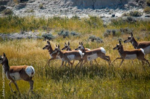 Deurstickers Antilope Antelope Running