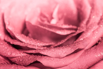 Fototapeta Róże Sweet color of pink rose , Romance color natural floral background