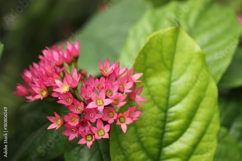 Close Up Of Small Bright Pink Flowers With Yellow Centers Broad