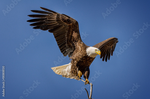 Acrylic Prints Eagle Bald Eagle