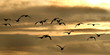 Greylag Geese flying in large group in UK.