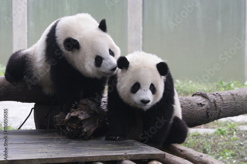 Fotografija  2 Lovely Pandas , kiss kiss