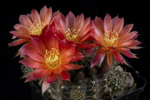 Cactus In A Pot Isolated In A ...