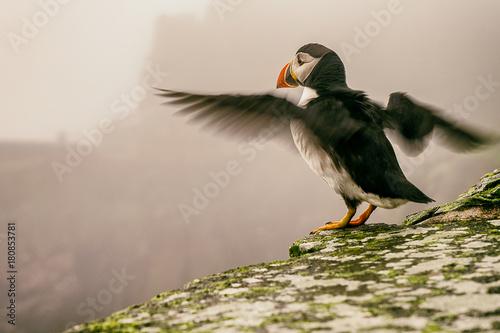 Zdjęcie XXL Maskonury Skellig, Wild Atlantic Way strzelają do dzikich zwierząt
