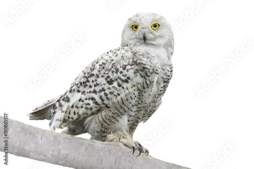 Fotobehang Uil owl (Nyctea scandiaca)