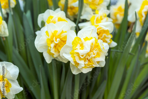 Deurstickers Narcis Narcissus flower. White and yellow
