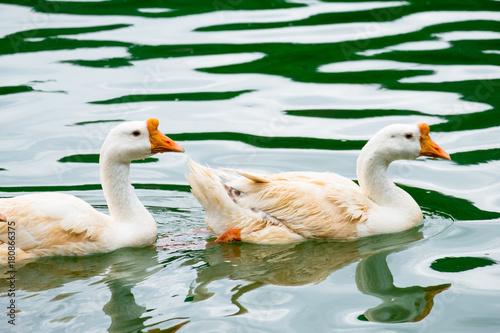 Canvas Prints River, lake White ducks swimming on the green lake seeking for food.