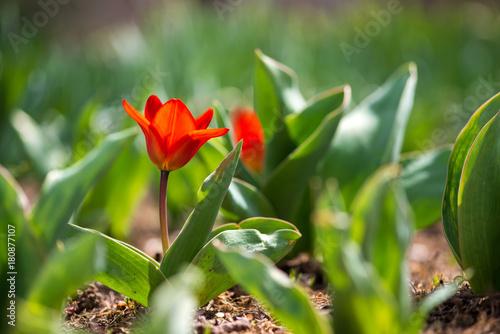 Plakat Czerwoni tulipany kwitnie w wiosna ogródzie - selekcyjna ostrość