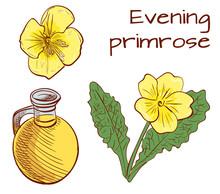 Medical Herbs: Evening Primros...