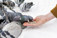 Feeding Pigeons From Hand