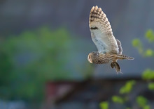Long-eared Owl Flies With Capt...