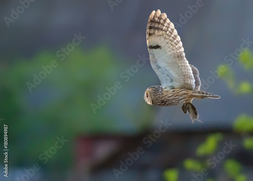 Papiers peints Chouette Long-eared owl flies with captured vole in claws at the sunset