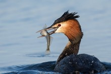Natural Great Crested Grebe (p...