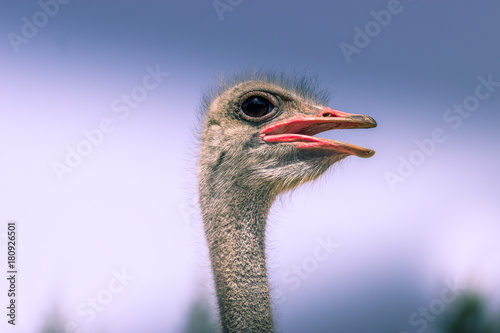 Staande foto Struisvogel Funny ostrich: hairy and with big eye
