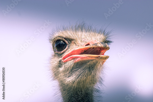 Fotobehang Struisvogel Funny ostrich: hairy and with big eye