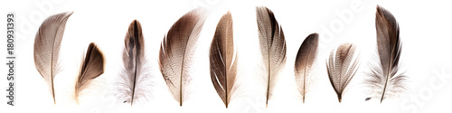 set of beautiful fragile pheasant bird feathers isolated on white background Tableau sur Toile