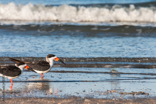 Black skimmers (sea gulls) on the shore of Tybee Island Georgia. Poster
