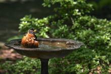Robin Bathing In The Birdbath