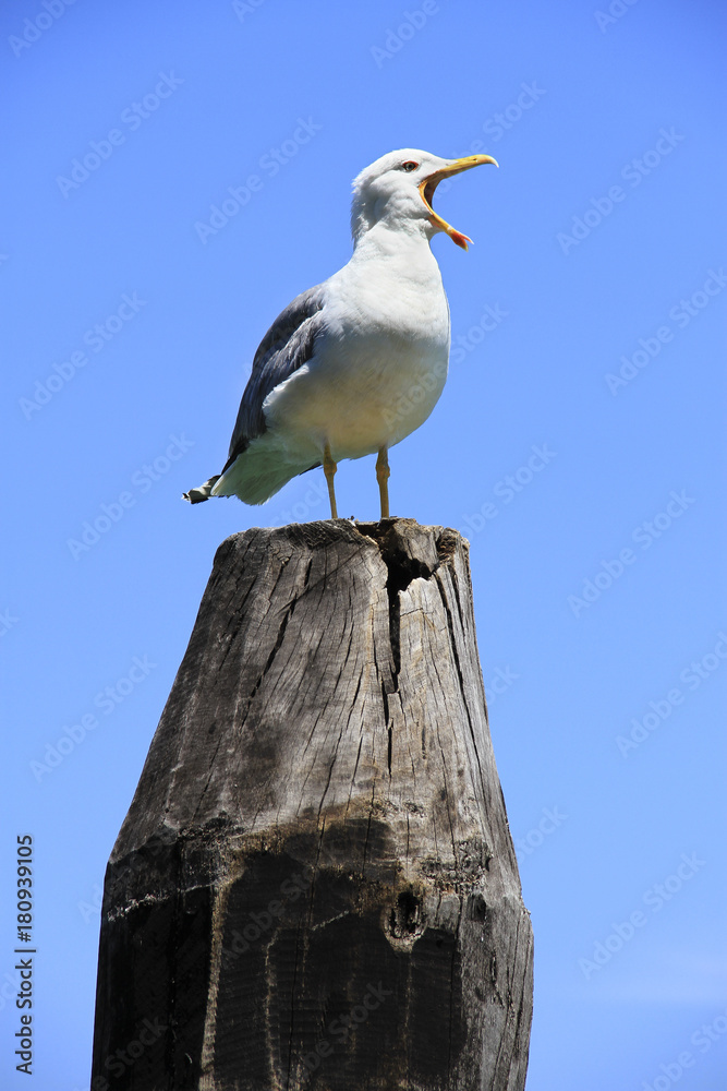 Seagull, Yellow-Legged Gull (Larus michahellis), sea bird, calling with it's mouth wide open while standing on a wooden pole.