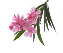 Purple Oleander Flowers On Whi...