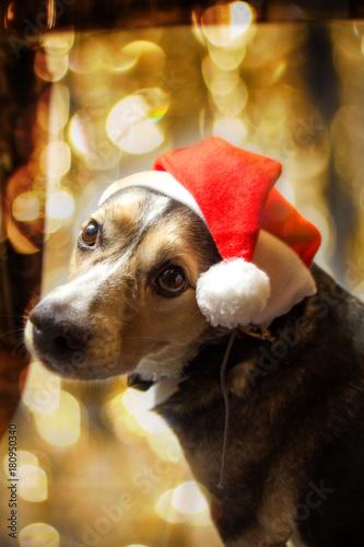 Plakat Pies w czapce Świętego Mikołaja. Świąteczna sesja zdjęciowa zwierzaka. Nowy Rok .