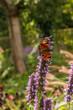 Schmetterling auf blauen Blumen