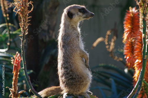 Photo  Meerkat sentinal closeup on rock between aloe flowers