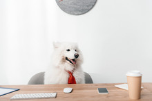 Samoyed Dog In Necktie At Work...