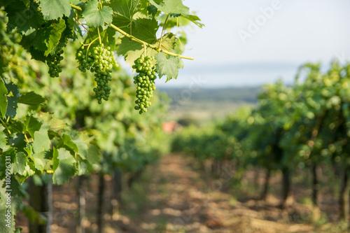 Fototapeta  Green grapes on branch in Balaton wine region, Hungary
