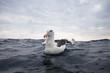 canvas print picture - black-browed albatross, thalassarche melanophris, South Africa