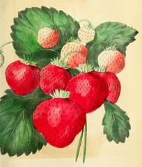 FototapetaIllustration of strawberries.