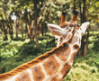 Giraffe looking over it's shoulder