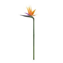 Bird Of Paradise Flower On A W...