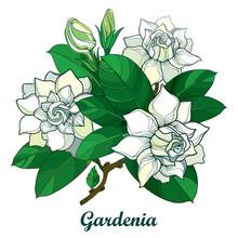Vector Outline Gardenia Flower...