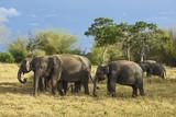 Sri Lankan Elephant - Elephas maximus maximus, Sri Lanka