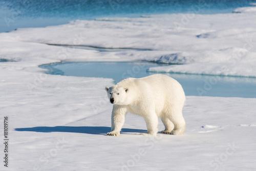 In de dag Ijsbeer Polar bear on the pack ice
