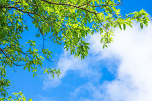 Green Leaves Branch Against Blue Sky And Clouds Nature Background