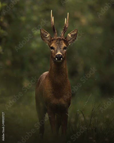 Deurstickers Hert Dark deer in the woods